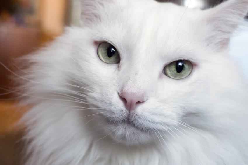 Kot rasy angora turecka i zbliżenie na pyszczek oraz charakter i hodowla