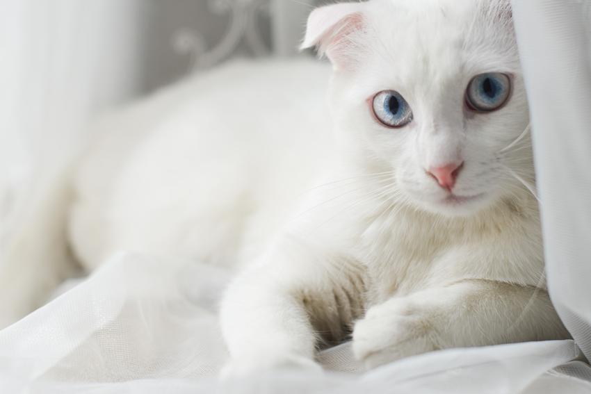 Kot rasy angora turecka w domu, a także cena angory tureckiej i jej charakter