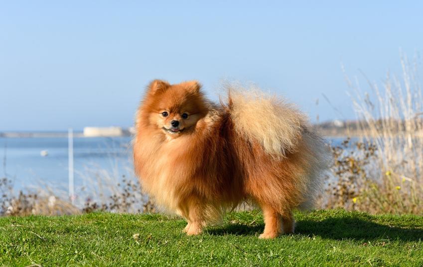 Pies rasy szpic średni niemiecki na tle zieleni, a także jego charakter i hodowla