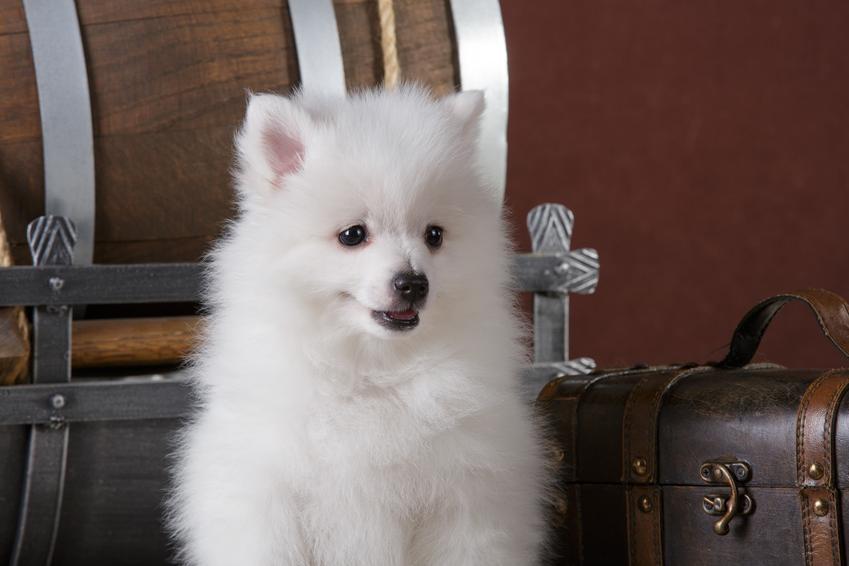 Pies rasy szpic włoski w domu na tle salonu, a także jego charakter i cena