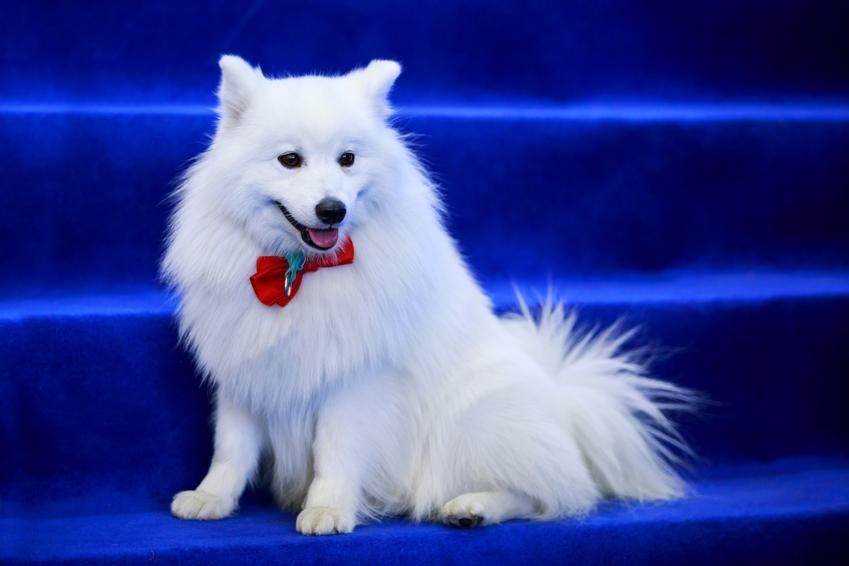 Pies rasy szpic włoski na tle niebieskich schodów, a także jego charakter i cena