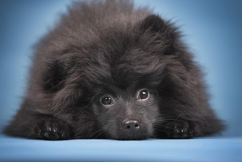 Pies rasy  pomeranian czarny oraz szpic pomarańczowy, czyli umaszczenie, charakter, cena
