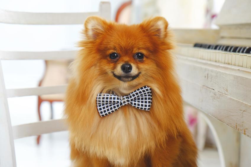 Pies rasy szpic pomarańczowy oraz pomeranian czarny, czyli umaszczenie, charakter, cena