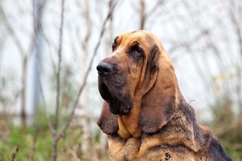 Pies rasy bloodhound, czyli pies św Huberta na tle zieleni oraz jego charakter i cena
