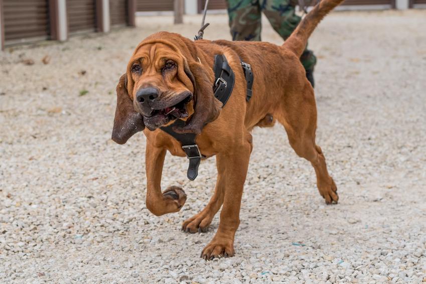 Pies rasy bloodhound, czyli pies św Huberta podczas spaceru, a także jego hodowla i opis