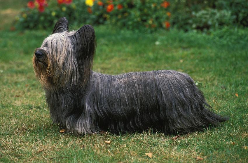 Pies rasy skye terrier na trawniku, a także jego charakter i usposobienie
