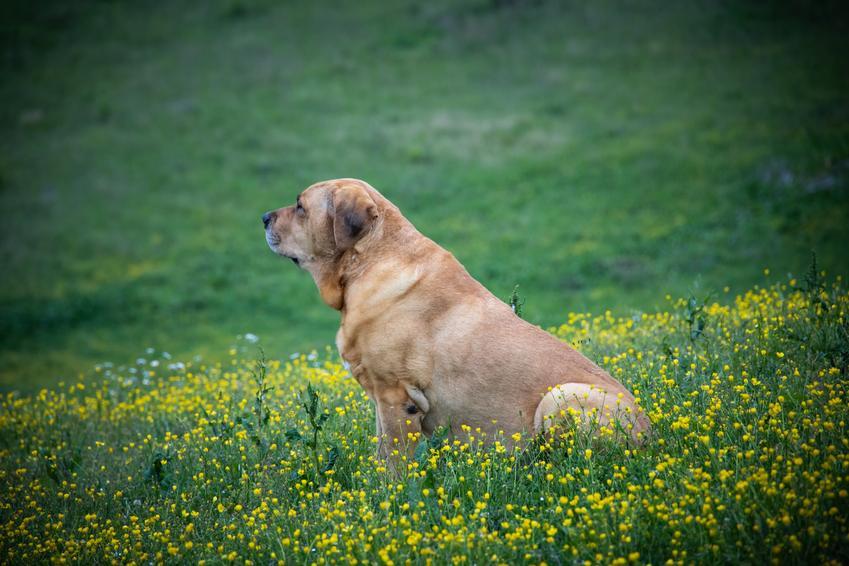 Pies rasy broholmer, czyli mastif duński siedzący w żółych kwiatach oraz jego charakter i cena