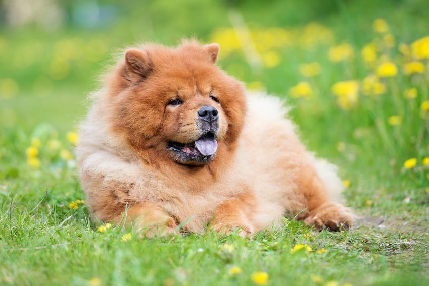Pies rasy chow chow miniaturka leżący na trawie oraz charakter, opis i hodowla