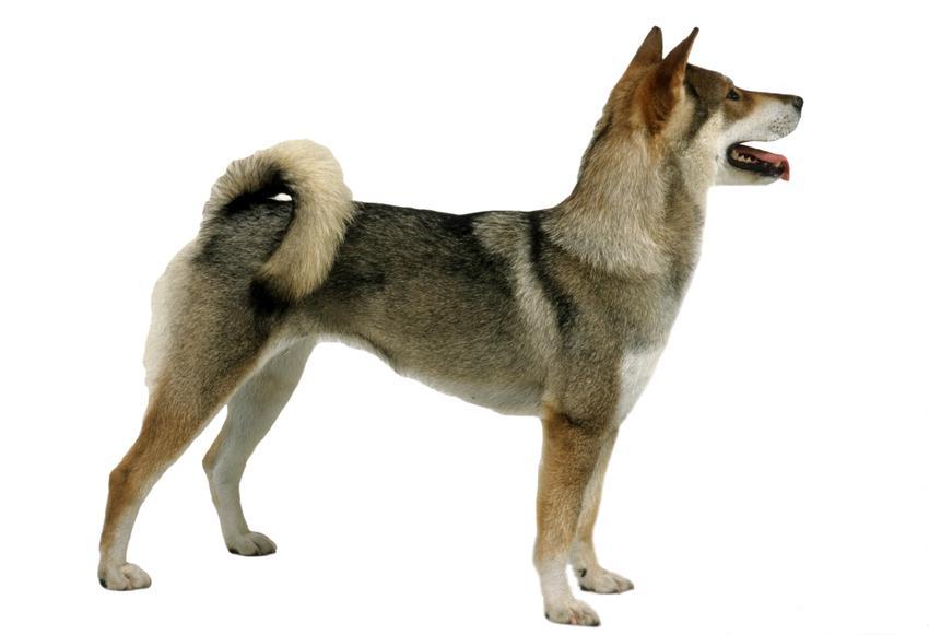 Pies rasy shikoku na białym tle, a także ile kosztuje szczeniak z rodowodem i polecana hodowla