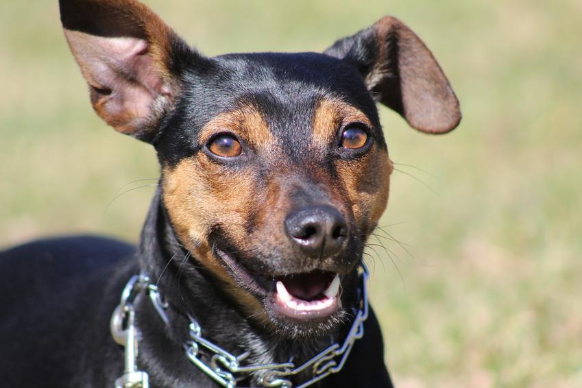 Pies rasy manchester terrier podczas spaceru, a także jego charakter i cena