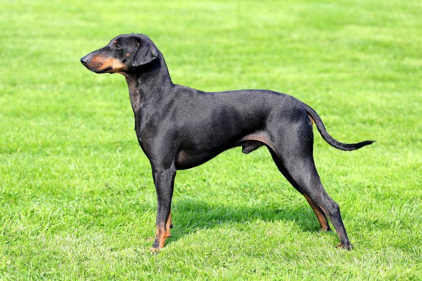 Pies rasy manchester terrier stojący na trawniku oraz jego charakter i hodowla