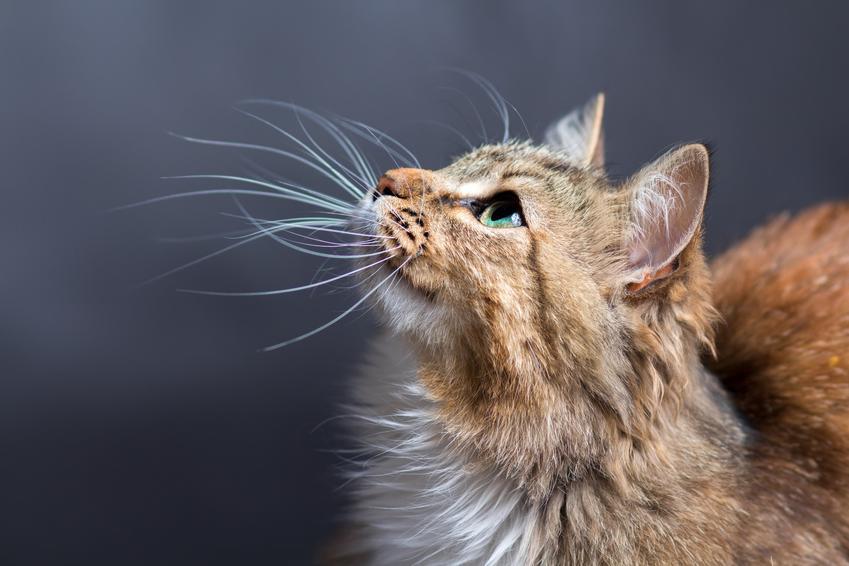 Kot w domu na szarym tle, a także informacje ile żyją koty i jaka jest średnia długość życia