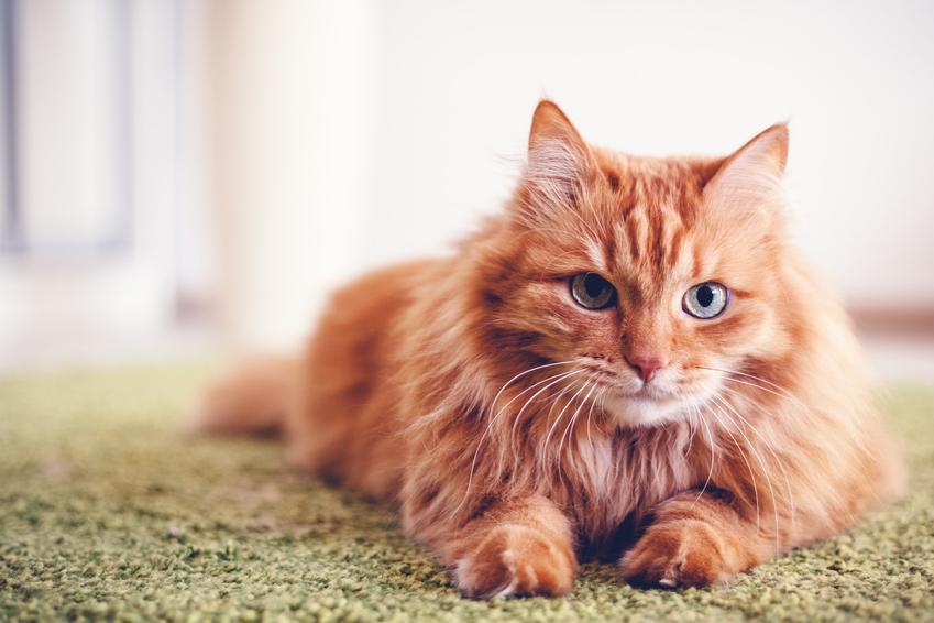 Kot leżący na dywanie w domu, a także informacje ile żyją koty i jaka jest średnia długość życia