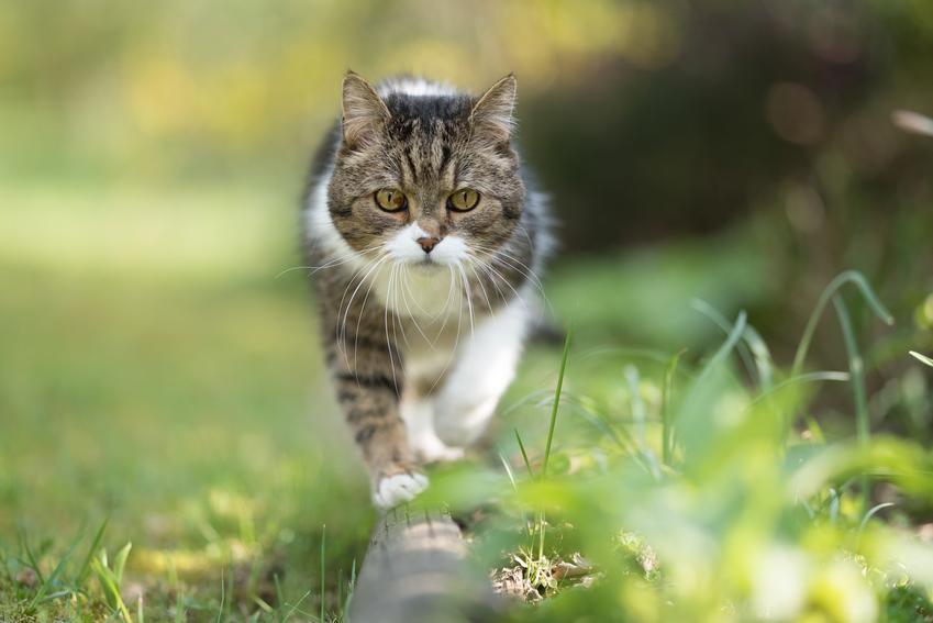 Kot spacerujący po trawie na tle zieleni oraz tabela i porady, jak przeliczyć kocie lata na ludzkie