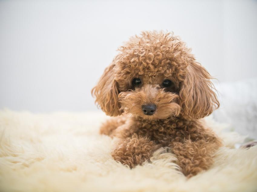 Miniaturka pudla i inne małe psy, czyli rasy psów małych do domu