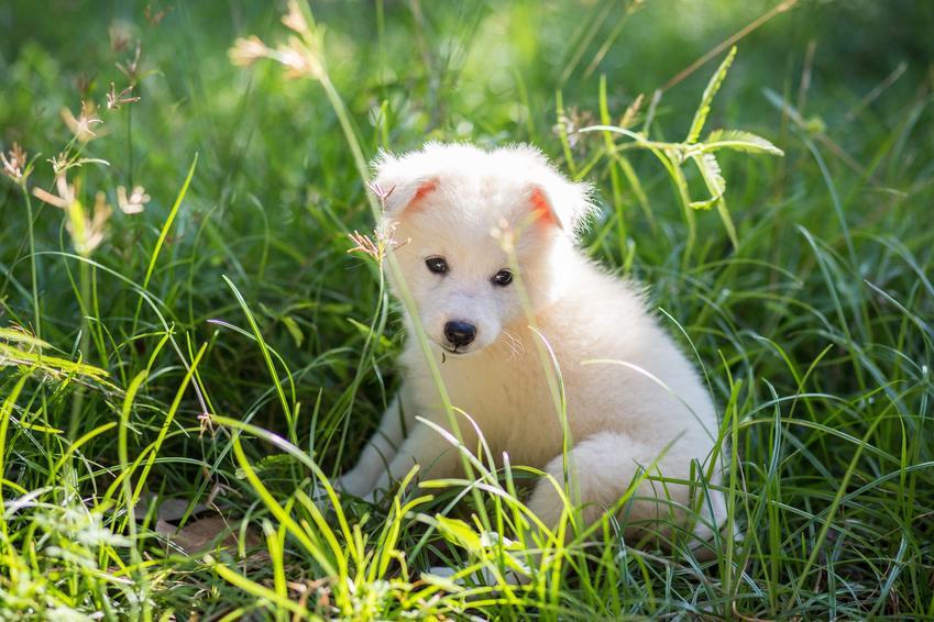 Szpic japoński siedzący w trawie, a także inne rasy psów małych