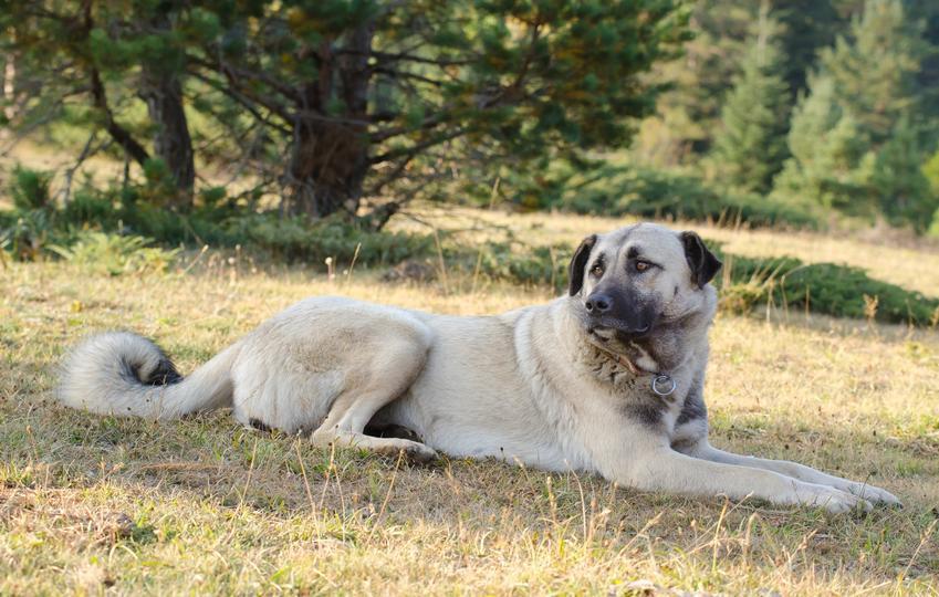Pies rasy anatolian leżący na trawie, a także jego charaktek, hodowla i cena za szczeniaki z rodowodem