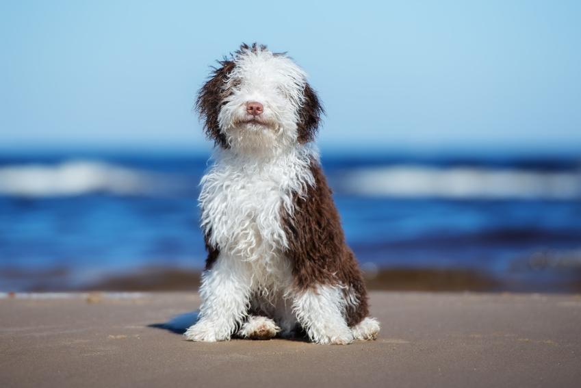 Pies rasy hiszpański pies dowodny na tle wody, a także jego charakter i usposobienie