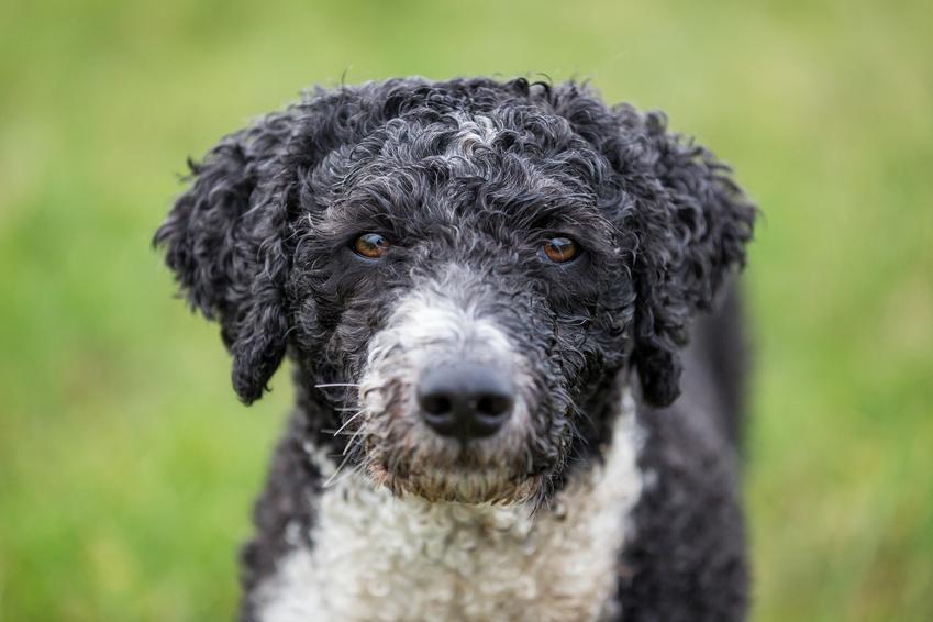 Pies rasy hiszpański pies dowodny na tle zieleni, a także charakter, hodowla i cena