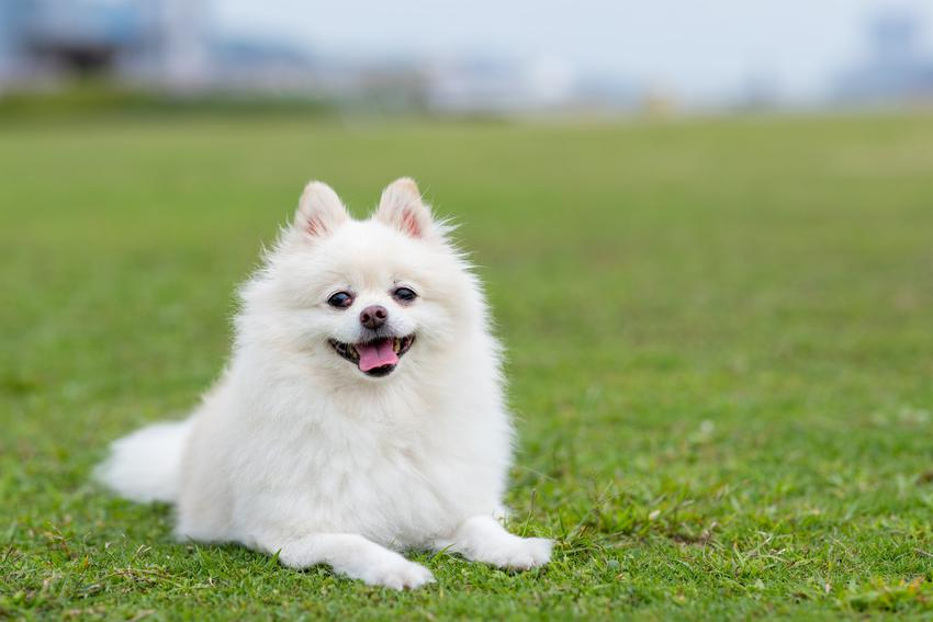 Pies rasy biały szpic miniaturowy leżący na trawie, a także charakter i cena