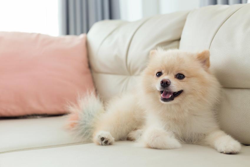 Pies rasy biały szpic miniaturowy leżący na sofie oraz hodowla i usposobienie