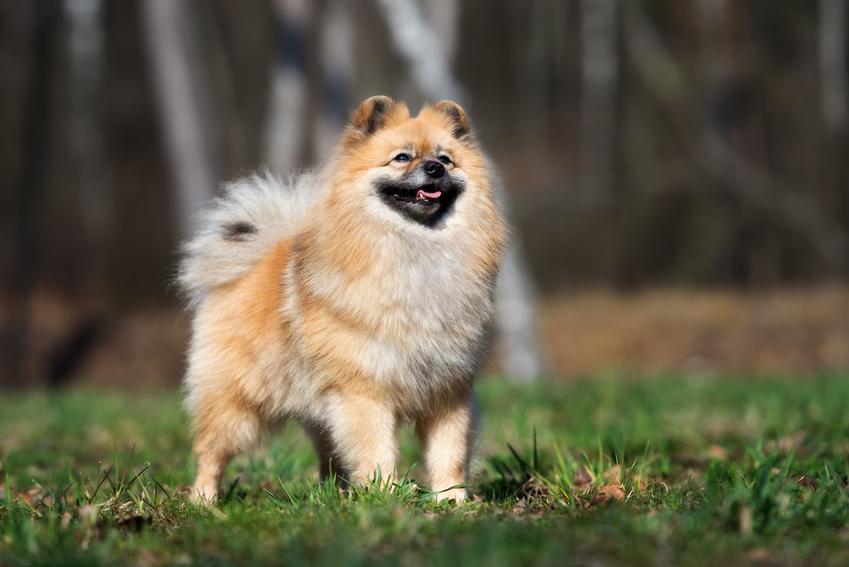 Pies rasy szpic duży, czyli szpic niemiecki na trawniku oraz jego charakter i hodowla