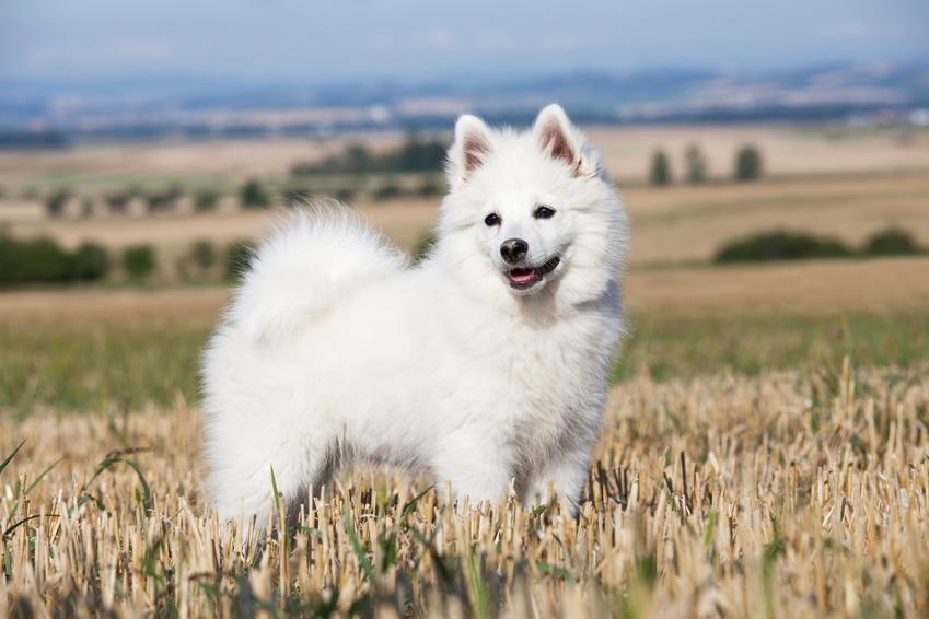 Pies rasy szpic duży, czyli szpic niemiecki na polu zboża, a także usposobienie i cena