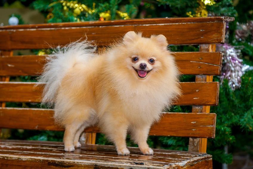 Pies rasy pomeranian na ławeczce w ogrodzie, a także charakter szpica miniaturowego
