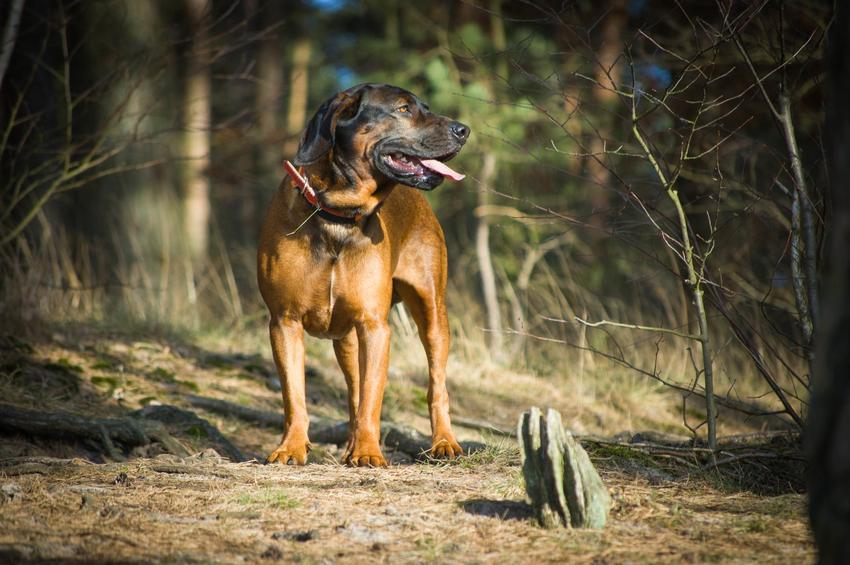 Pies rasy posokowiec bawarski w czasie spaceru w lesie, a także charakter posokowca bawarskiego