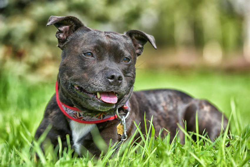 Pies rasy staffordshire bull terrier leżący na trawniku oraz charakter, opis i cena