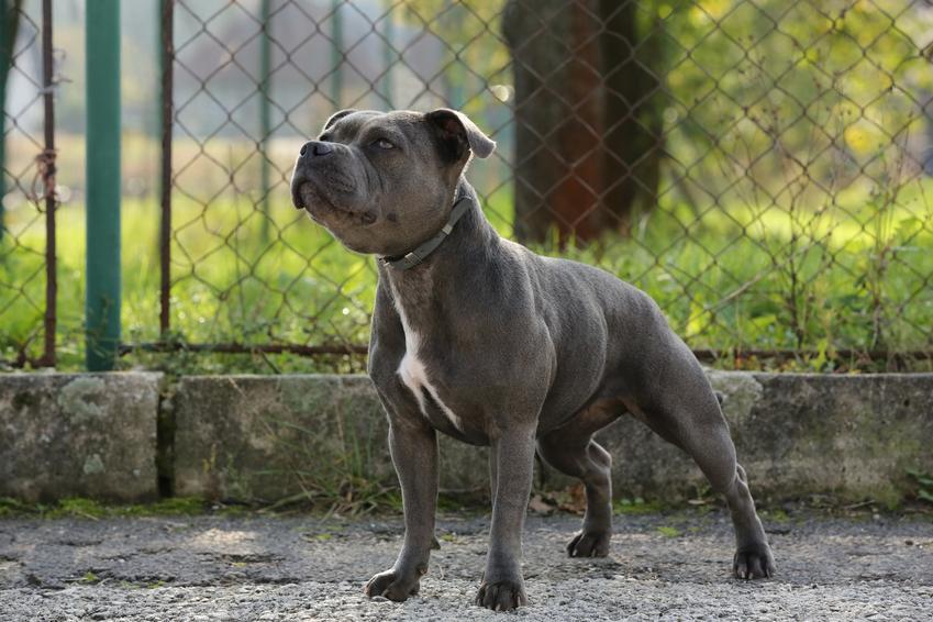 Pies rasy blue staffordshire bull terrier w czasie spaceru, a także jego hodowla i cena