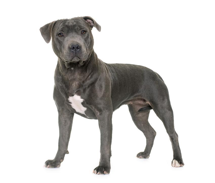 Pies rasy blue staffordshire bull terrier na białym tle oraz charakter, opis i cena
