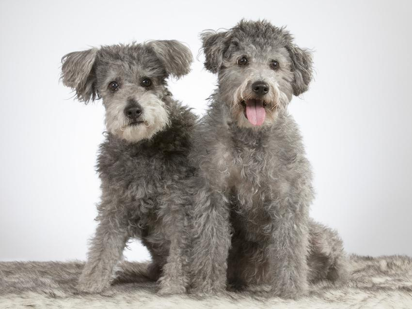 Dwa psy rasy pumi pasterski i zaganiający, a także charakter, usposobienie i hodowla