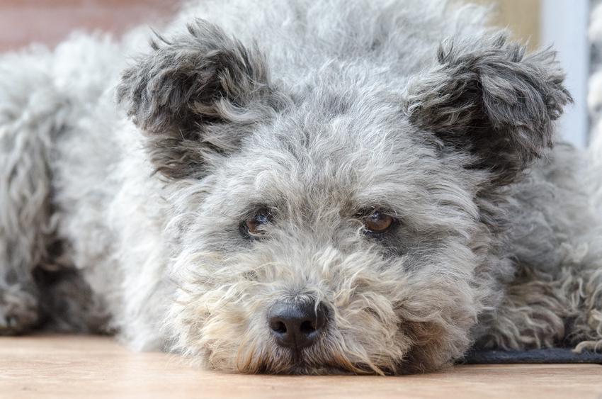 Pies rasy pumi pasterski i zaganiający leżący na podłodze, a także jego charakter i cena