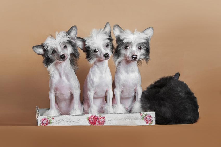 Psy rasy chiński grzywacz na brązowym tle oraz inne znane chińskie rasy psów