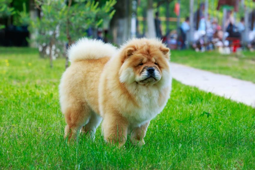 Pies chow chow podczas spaceru oraz inne polecane chińskie rasy psów