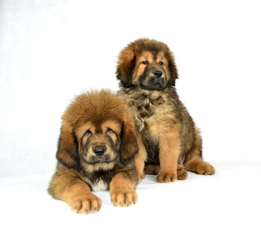 Mastif tybetański na białym tle, a także polecane chińskie rasy psów