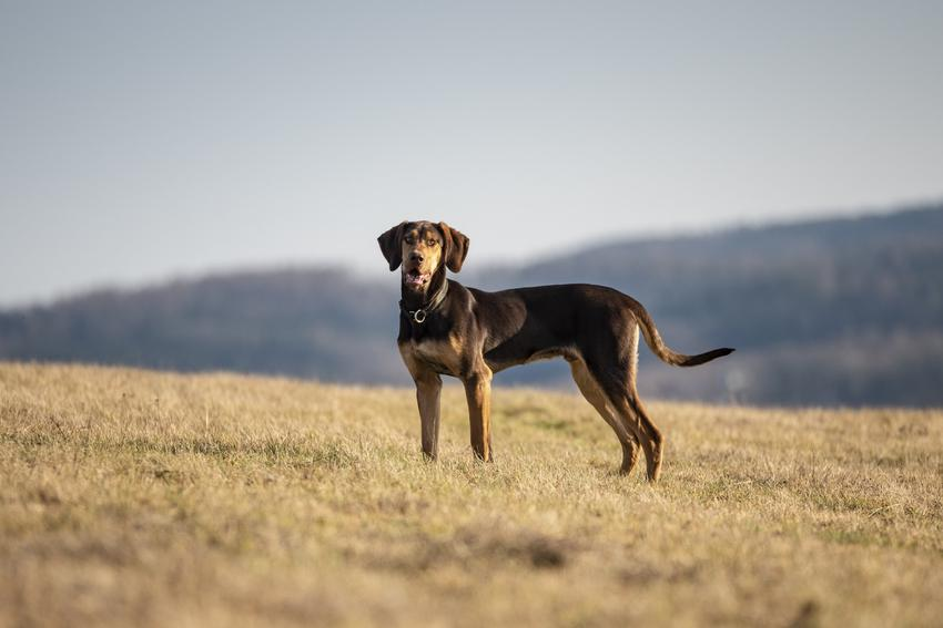 Pies rasy greyster na łonie natury, a także jego charakter, hodowla i cena