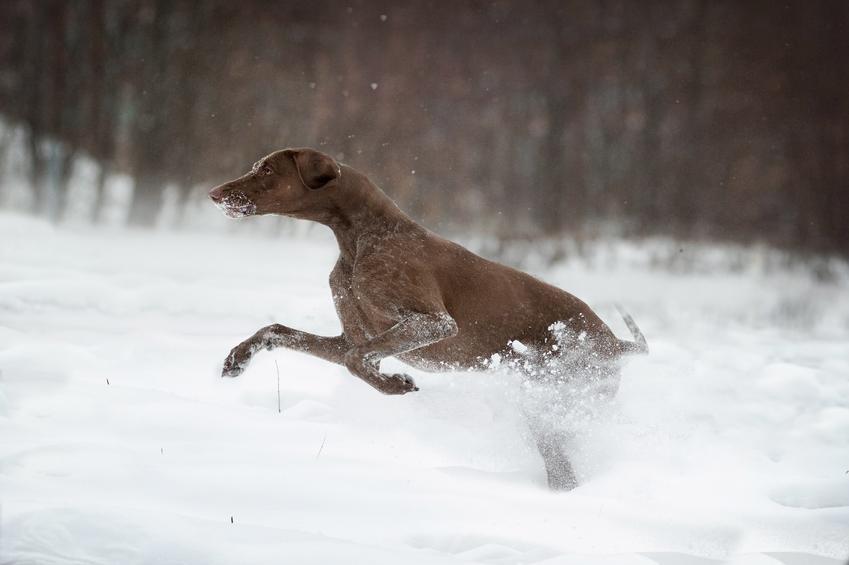 Pies rasy greyster biegający po śniegu, a także jego charakter, opis, hodowla i cena za szczeniaki