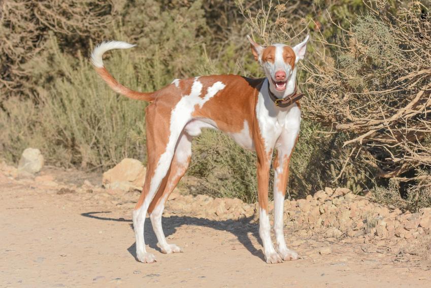 Pies rasy podenco z Ibizy na łonie natury oraz charakter, usposobienie, hodowla i cena