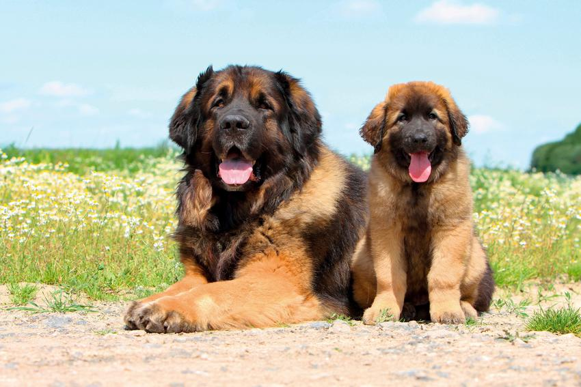 Dwa psy rasy leonberger na tle zieleni, a także charakter i usposobienie leonbergera