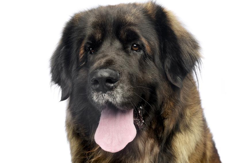 Pies rasy leonberger na białym tle, a także charakter i usposobienie leonbergera