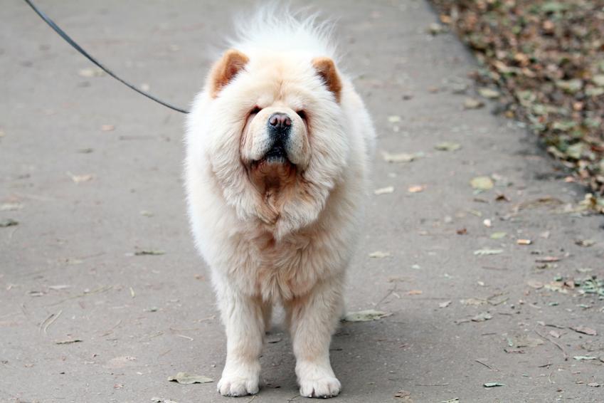 Pies rasy chow chow na smyczy podczas spaceru oraz pies z niebieskim językiem
