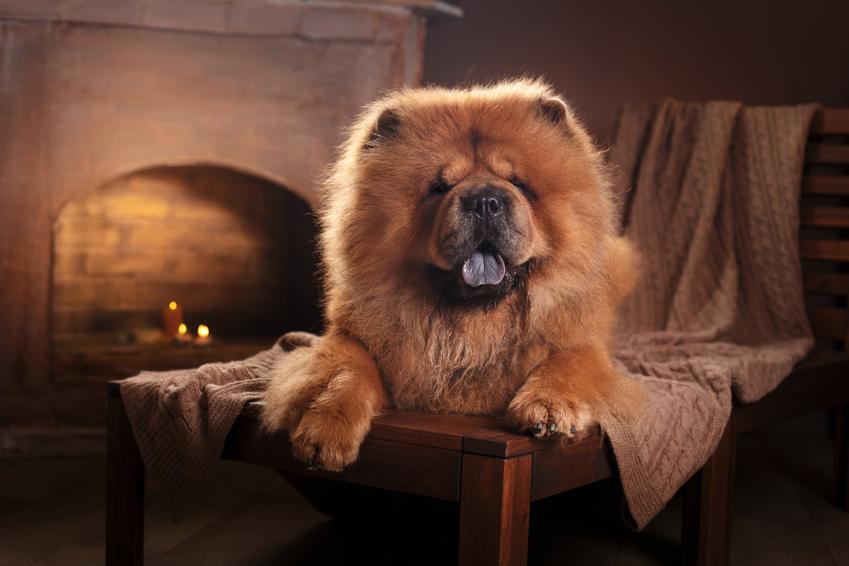 Pies z niebieskim językiem, czyli pies chow chow na kanapie przy kominku oraz jego usposobienie i hodowla