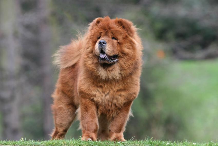 Pies rasy chow chow podczas spaceru oraz pies z fioletowym językiem i jego opis