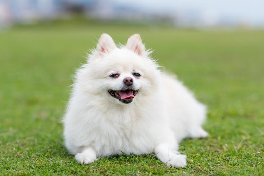 Pies rasy biały pomeranian na tle trawnika, a także jego usposobienie i hodowla