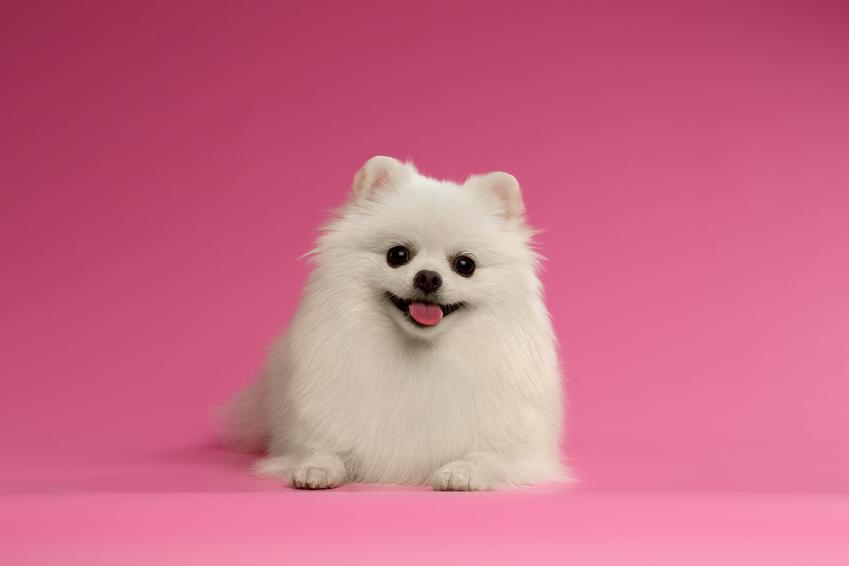 Pies rasy biały pomeranian na różowym tle, a także jego usposobienie i hodowla