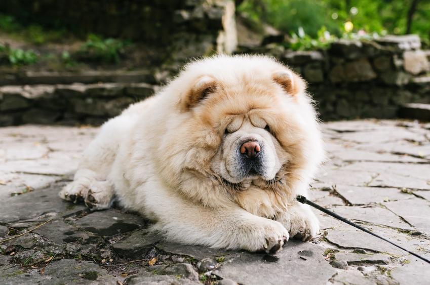 Pies rasy chow chow leżący na bruku, a także usposobienie i charakter chow chow