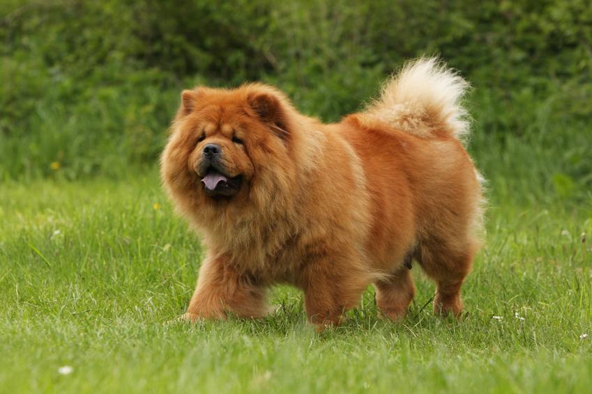 Pies rasy chow chow podczas spaceru po trawie, a także usposobienie i charakter chow chow