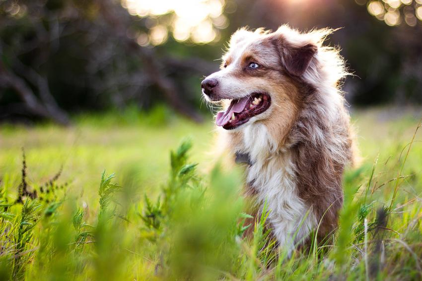 Pies leżący w trawie, a także cieczka u psa, jej objawy, trwanie i czas